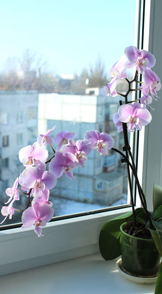 orchid-tall
